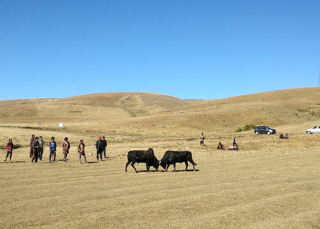 Bull Fight Shillong